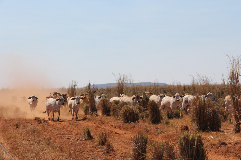 Cows grazing NT